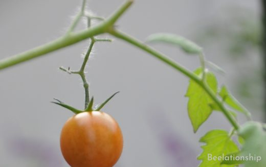 Autumn Mini Tomato