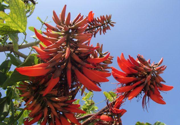 Erythrina_variegata_flower